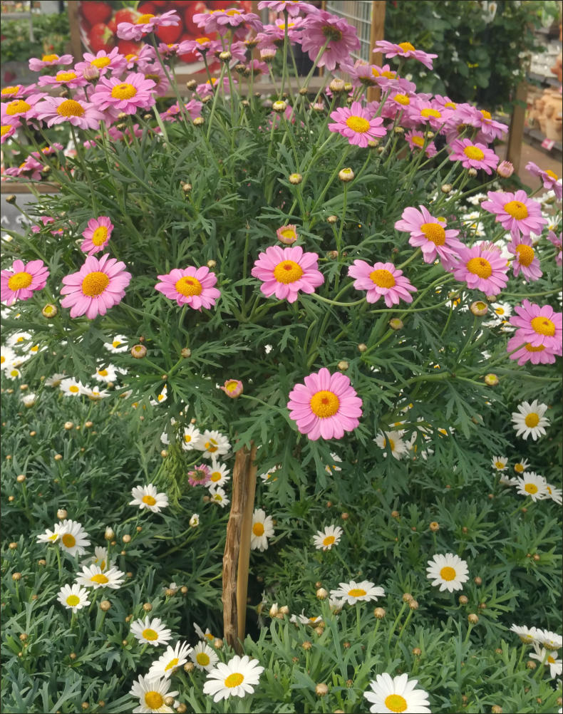 Santolina Snoeien. Great My Favorite Alliums With ... | 790 x 1002 jpeg 210kB